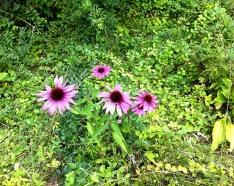 Purple cone flower echinacea  plant flower nature stock photo image free use