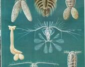 Vintage Book Plate - Crustacea / Copepods / double sided / Water Fleas / Carp Louse / Sapphire Shrimp