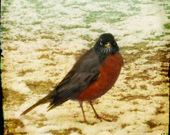 Red Beige Robin Photograph--Wrong Side of the Bed--Fine Art