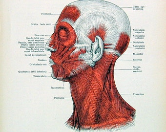 Human Anatomy Illustration - Muscles of the Head and Neck - 1933 Vintage Book Page