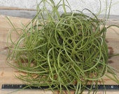 "Tillandsia Recurvata 6"" Round Clump - Air Plant"