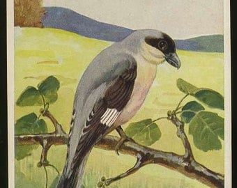 Bird postcard, German Bird vintage postcard  Lesser grey shrike, Lanius minor Gm vintage postcard, SharonFosterVintage