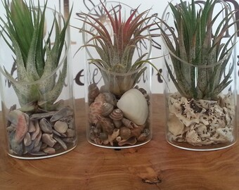 Modern Minimalist Tilly Terrarium Air Plant Tillandsia, Desk-Top or Wall-Mount, You Choose the Medium, Gift Packaged