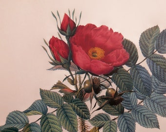 Vintage Botanical Flower print from Redoutes Roses, red Kamchatka Rose, Color Lithograph wall art