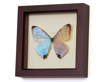 Framed Blue Pearl Morpho Butterfly in Walnut Frame
