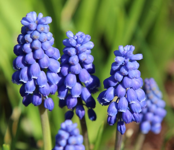 Dozen Grape Hyacinth (Armeniacum) Bulbs