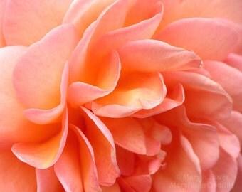 Flower Photography 'Abraham Darby' Rose Petals, peach pink orange macro photo floral home decor fine art nature photography 7x5 10x8 14x11