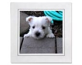 Westie Puppy Peek A Boo Photo Card Blank Inside - Westie Cards - Westie Puppy Cards - Westie Notecards - Cards Westies - Westie Photos Cards