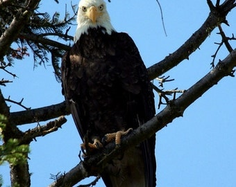 Bald Eagle Is Watching You Digital Download Photograph