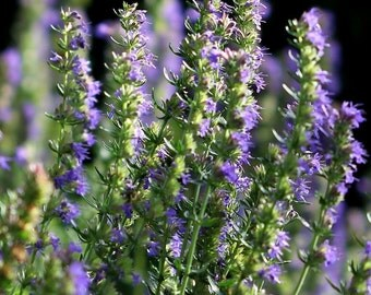Hyssop, Hyssop Seeds | Old Fashioned Plant Used in Herbal Medicine