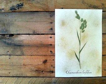 River Oats Herbarium Specimen - Real Pressed Botanical Art