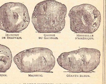 Antique French Print 1920s Book  pageEngraved iIlustrations Potato Varieties Potager Veg patch Allotment