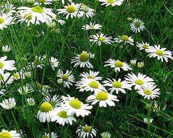 Chamomile Roman Seed-Organic Heirloom Herb Seed