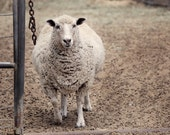 Sheep photography Animal Photography Farm photography Country Living Wall Decor  Home decor Fine Art Photography Print