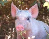 "Digital Download 17.21 MB (TIF format) file of a photograph taken by me, ""Pomona Piggy"""