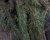 Fresh Evergreen Boughs for Your Christmas Decorating Delight