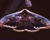 Fine Art Macro Photography Print green butterfly moth