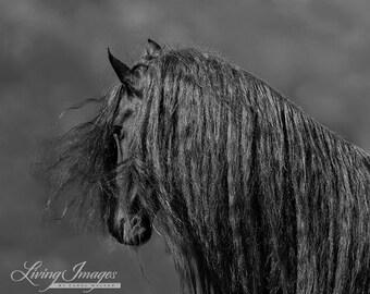 The Friesian's Long Mane - Fine Art Horse Photograph - Horse - Friesian - Black and White