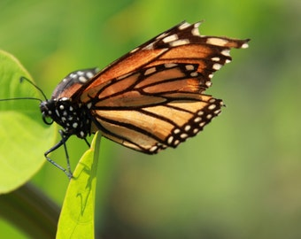 Stunning Monarch Butterfly Photo