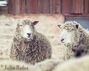 SALE sheep photography, rustic decor, french country, farm animal photography