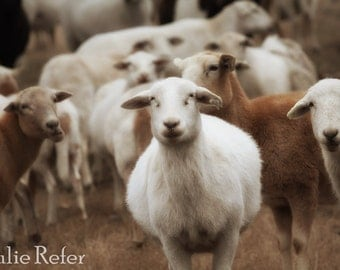 Sheep picture, farm animal photography, farmhouse decor