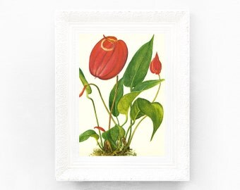 8x10 Vintage Botanical Print. Encyclopedia Illustration. Flamingo Print House Plant Print Educational Learning flower print bot68