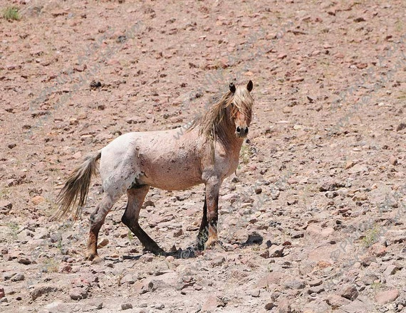 Rojo 3 Strawberry Roan Mustang Stallion - photo#15