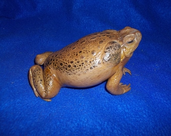 Real Cane toed frog vintage leather taxidermy Hopping amphibian mount wood free standing home decor