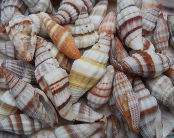 mitre seashells BEACH NAUTICAL DECOR crafts