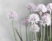 """Lavender and Green Chives Flowers on Soft Gray - 11 x 14"""" Fine Art Photo SAVE 20 PERCENT - Ready to Ship"""