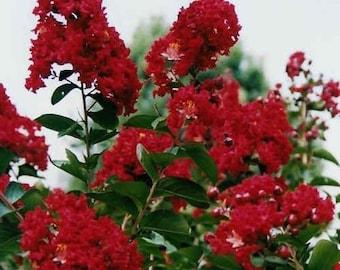 30 Dwarf Red Crape Myrtle Seeds-1195C