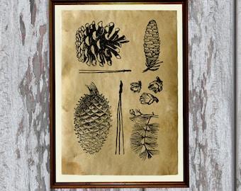 Natural history art Pine cones print Old paper home decor AK93