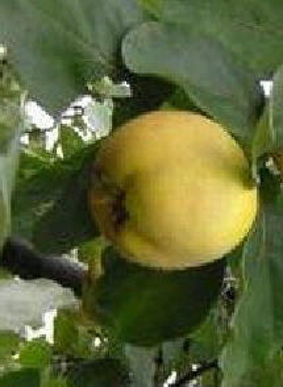 Items similar to ANGERS Quince heirloom fruit tree ...