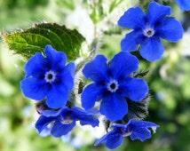 Heirloom 100 Seeds Anchusa Dyer's Bugloss Summer forget-me-not Alkanet Blue Garden Flower B0008