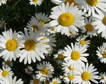 Heirloom 900 Seeds Chrysanthemun leucanthemum Annual Oxeye Daisy White Flower Bulk Seeds S034