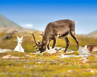 Wildlife decor photo print of reindeer in the far North of Norway, with mountain landscape in the background, wildlife photography wall art
