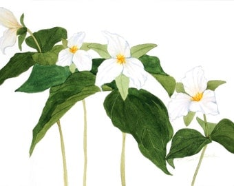 "White Trillium Watercolor Reproduction by Wanda""s Watercolors"
