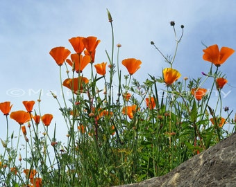 Wildflowers Summer Nature Flowers Poppies Orange Green Blue Garden, Fine Art Photography, matted & signed 5x7 Original Photograph