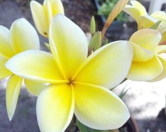 HUGE SALE Organic Plumeria Frangipani Sunstar/Celadine Yellow/White Flowers cutting