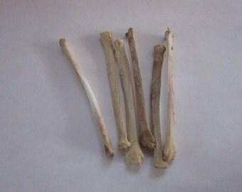 2 COYOTE  Leg Bone Taxidermy  Knife Handle Craft