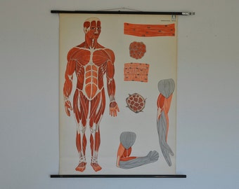 Antique Mid Century Human Anatomy Poster. Germany. School. Pull Down Chart. Vintage. Medicine. Muscular System.