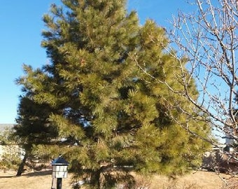 50 Ponderosa Pine Tree Seeds, Pinus ponderosa - Oregon/Washington/California