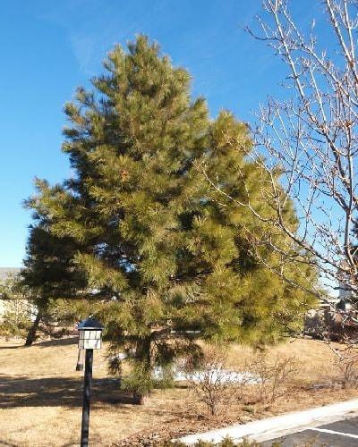 Ponderosa Pine Tree Images 1000 Ponderosa Pine Tr...