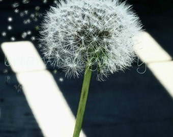 8 x 10 Dandelion in the Wind -Nature Photography
