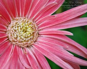 027 Pink Daisy