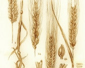 beer art, Barley and Wheat Botanical Drawing, painted using beer, botanical, beer ingredients, pub art, stout, porter
