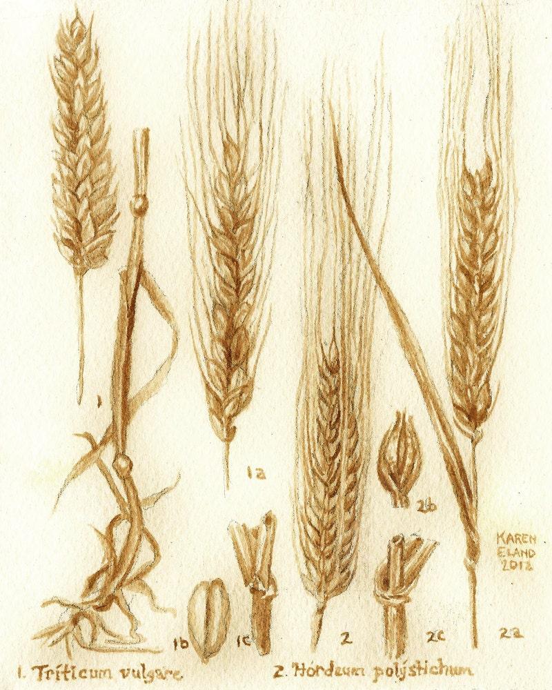 Beer Barley Drawing | www.pixshark.com - Images Galleries ...