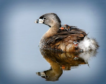 Nature Image Pied billed Grebe with chicks, Bird Image, Waterfowl Image,