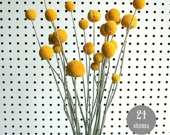 Craspedia - BIlly Balls - BIlly Buttons Dried Yellow Flowers