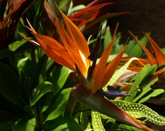 Digital Photograph of the Unique Bird of Paradise Plant